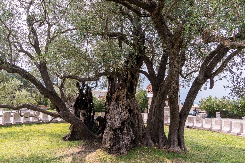 old-olive-tree-bar-explore-montenegro