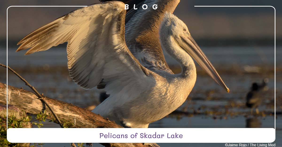 blog-pelicans-skadar-lake-montenegro